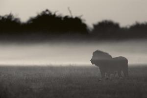 A lion is shrouded in mist, Misty Lion. by Beverly Joubert