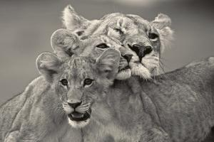 A lioness and cubs huddle together, Affection. by Beverly Joubert