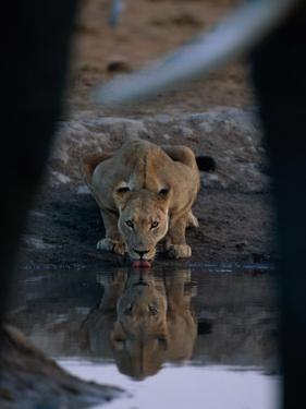 A Lioness Drinks from a Pool of Water by Beverly Joubert