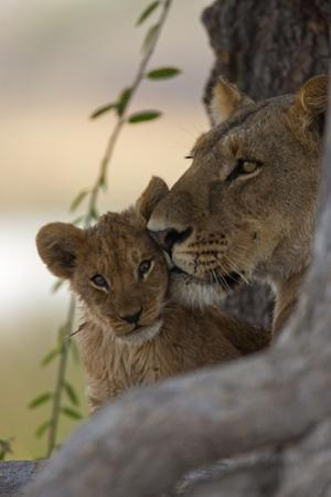 A Lioness Nuzzling Her Cub by Beverly Joubert