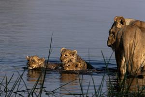 A Lioness Watching Cubs Swimming Back to Land by Beverly Joubert