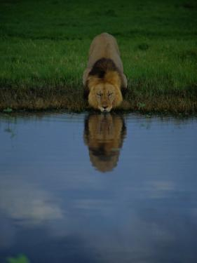 A Male Lion in His Prime Drinking from a Pool by Beverly Joubert