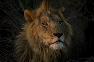 A Male Lion, Panthera Leo, with the Light from the Setting Sun on His Face by Beverly Joubert
