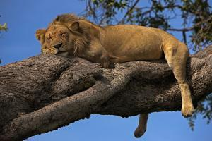 A Male Lion Sleeping in a Tree by Beverly Joubert