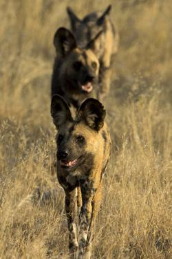 A Pack of African Wild Dog, Lycaon Pictus, Walking in a Row, on Patrol by Beverly Joubert