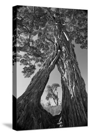 A Pair of Baobab Trees, Adansonia Digitata, with Large Roots, Growing Together Mid-Way Up their Tru by Beverly Joubert