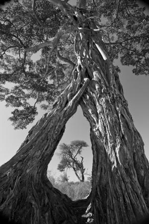 A Pair of Baobab Trees, Adansonia Digitata, with Large Roots, Growing Together Mid-Way Up their Tru