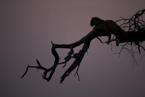 A Silhouetted Leopard Resting in a Tree by Beverly Joubert