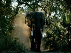 African Elephant in a Forest Setting by Beverly Joubert