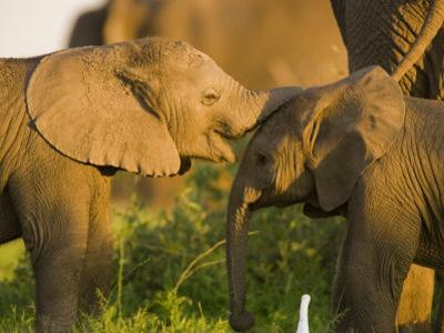 African Elephant (Loxodonta Africana)Calf by Beverly Joubert