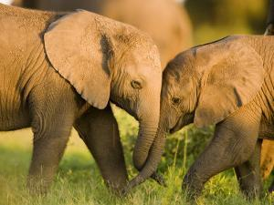 African Elephant (Loxodonta Africana) Calves Entwining Trunks by Beverly Joubert
