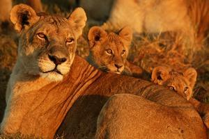 African Lioness, Panthera Leo, and Her Cubs Resting by Beverly Joubert