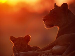 African Lions (Panthera Leo), Female and Cub at Twilight, with the Lioness Looking for Prey by Beverly Joubert