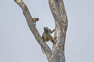 An Adult Baboon with its Young in a Tree by Beverly Joubert