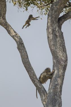 An Adult Baboons Watching at its Young Jumping from Branch to Branch on Tree by Beverly Joubert