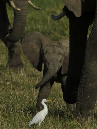 An African Elephant Calf, Next to its Mother, Looking at a Cattle Egret by Beverly Joubert