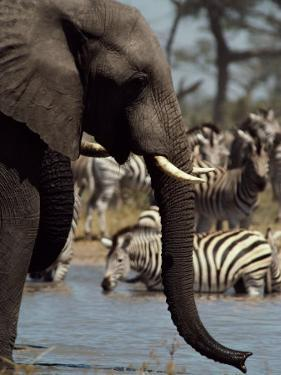 An African Elephant Drinks from a Water Hole Shared by a Herd of Plains Zebras by Beverly Joubert