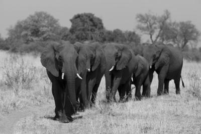 An African Elephant Herd Walking in a Line on a Dirt Road by Beverly Joubert