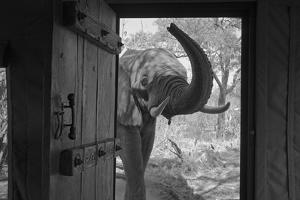 An African Elephant Looking into a Doorway in a Camp by Beverly Joubert