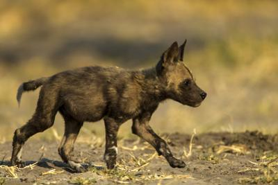 An African Wild Dog Pup, Lycaon Pictus by Beverly Joubert