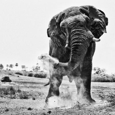 An elephant, Loxodonta Africana, creates dust with its trunk. by Beverly Joubert