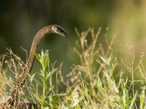 Black Mamba Raising Up it's Head, Ready for Attack in Tall Grasses by Beverly Joubert