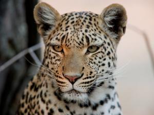 Close Portrait of a Leopard, Panthera Pardus by Beverly Joubert