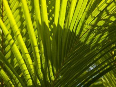 Close Up Detail of a Coconut Palm Frond by Beverly Joubert