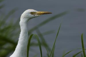 Close-Up of a Cattle Egret, Bubulcus Ibis, Looking over the Water by Beverly Joubert