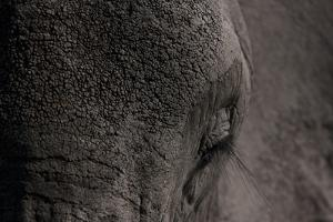 Close Up of an African Elephant's Eye and Forehead by Beverly Joubert