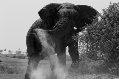 Elephant Dusting in Northern Botswana by Beverly Joubert