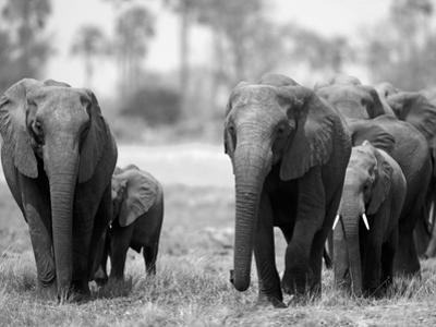 Elephant Herd Walking in Northern Botswana by Beverly Joubert