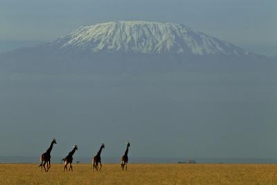 Four Masai Giraffes on a Grass Plain at the Base of Mount Kilimanjaro by Beverly Joubert