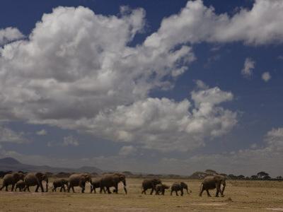 Herd of African Elephants Moving across a Plain by Beverly Joubert