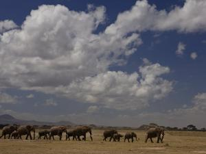 Herd of African Elephants Moving across a Plain by Beverly Joubert