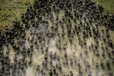 Herd of migrating African buffalo, Syncerus caffer, in Botswana's Okavango Delta. by Beverly Joubert