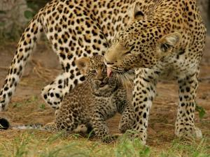 Leopard, Panthera Pardus, Grooming Her Cub by Beverly Joubert