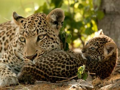 Leopard (Panthera Pardus) with Young Cub by Beverly Joubert