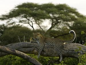 Leopard Resting on a Strong Tree Limb by Beverly Joubert