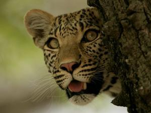 LeopardPeering Behind the Bark of a Tree, Mombo, Okavango Delta, Botswana by Beverly Joubert
