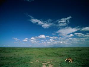 Lion Resting on the Vast Savanna by Beverly Joubert