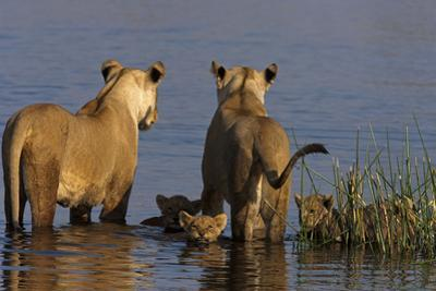 Lionesses Looking across a Spillway While Cubs Swim Between Them by Beverly Joubert