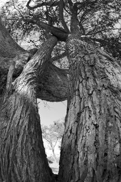 Low Angle View of a Two Trees with Intertwining Branches by Beverly Joubert