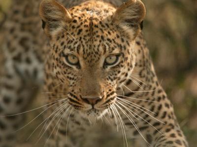 Portrait of a Leopard, Panthera Pardus, Mombo, Okavango Delta, Botswana