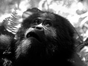 Portrait of a Lowland Gorilla, Gorilla Gorilla by Beverly Joubert
