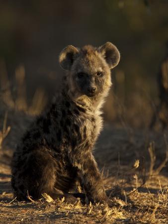 Portrait of a Spotted Hyena Pup, Crocuta Crocuta by Beverly Joubert