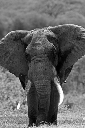 Portrait of an Old African Elephant Bull by Beverly Joubert