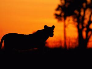Silhouette of a Lioness from the Central Pride by Beverly Joubert