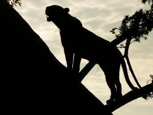 Silouehette of Leopard (Panthera Pardus) in Tree by Beverly Joubert