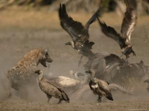 Spotted Hyena and White-Backed Vultures Duel over a Carcass by Beverly Joubert